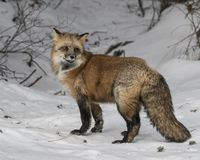 Red Fox in the winter. Red Fox. This photo was created in February 2018 in Montana USA stock photos