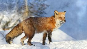 Red fox during winter. Red fox in forest during winter stock photo