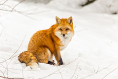 A red fox in a winter scene Stock Images