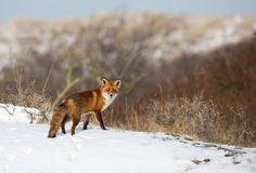 Red fox. In a winter setting Royalty Free Stock Photography