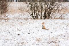 Red fox in winter Royalty Free Stock Images