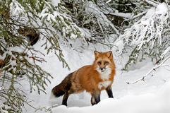 Red fox in winter snow Royalty Free Stock Photography