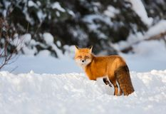A red fox in winter among snow turns back to look royalty free stock image