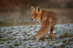 Red fox in winter Stock Images