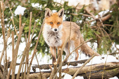 Red fox in winter Royalty Free Stock Photography