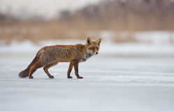 Red Fox in a winters landscape Stock Image