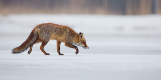 Red Fox in a winters landscape Royalty Free Stock Photo