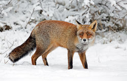 Red Fox in a winters landscape Stock Photos