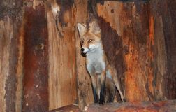 Red fox. On the wood Stock Photography
