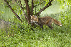 Red Fox in the woods Stock Image