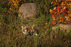 Red Fox (Vulpes vulpes) Amidst Autumn Colors Stock Photos