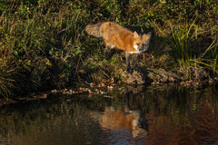 Red Fox (Vulpes vulpes) Looks Out Reflected Royalty Free Stock Images