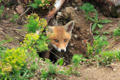 Free Red Fox &x28;Vulpes Vulpes&x29;Germany Royalty Free Stock Images - 161519179