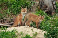 Free Red Fox &x28;Vulpes Vulpes&x29;Germany Stock Photo - 161519580