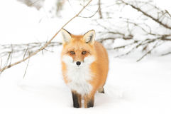 Free Red Fox &x28;Vulpes Vulpes&x29; With A Bushy Tail Isolated On White Background Hunting In The Freshly Fallen Snow In Algonquin Royalty Free Stock Photography - 83158467