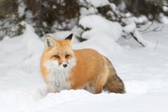 Free Red Fox &x28;Vulpes Vulpes&x29; With A Bushy Tail Isolated On White Background Hunting In The Freshly Fallen Snow In Algonquin Stock Images - 84788834