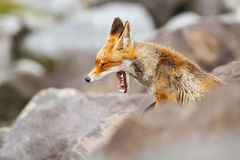 Red fox yawning. A red fox yawning on a rocky hill Stock Photo