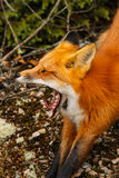 Red Fox Yawning. A wild red fox stretches and yawns in Algonquin Park, Ontario royalty free stock photo