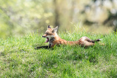 Red Fox yawning on a grassy hill Stock Images