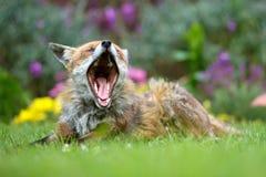 Red fox yawns Stock Photo
