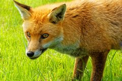Red Fox with Yellow Eyes Royalty Free Stock Photo