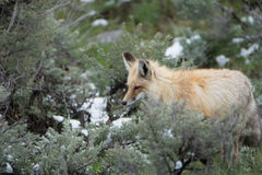 Red fox in Yellowstone National Park. A red fox in Yellowstone National Park stock photo