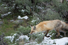 Red fox in Yellowstone National Park. A red fox in Yellowstone National Park stock images
