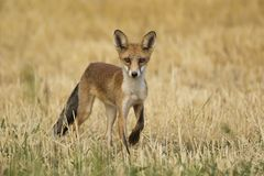 Red fox. Young red fox in the field Stock Image