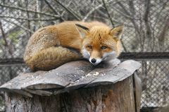 Red fox in zoo. Close up of red fox in zoo Royalty Free Stock Photos