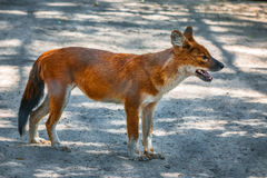 Red Fox in zoo Stock Photos