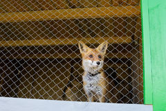 Red fox in the zoo cage Stock Photography