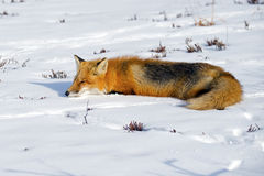 Red Fox Sleeping Royalty Free Stock Photos