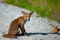 Red Foxes Stock Image