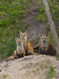 Red Foxes stock photo
