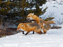 Red Foxes Stock Photos