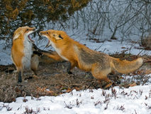 Red Foxes Stock Images