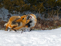 Red Foxes. Fighting in the snow Royalty Free Stock Images