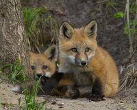 Red Foxes Royalty Free Stock Photo