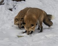 Red Foxes in the snow. Red Foxes. This photo was created in February 2018 in Montana ,USA royalty free stock photography
