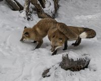 Red Foxes in the snow. Red Foxes. This photo was created in February 2018 in Montana ,USA stock images