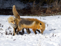 Red Foxes in the snow Stock Image