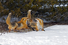 Red Foxes in the snow Royalty Free Stock Image