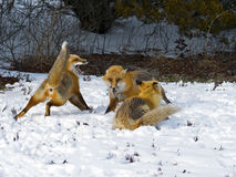 Red Foxes in the snow Royalty Free Stock Photography