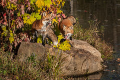 Red Foxes (Vulpes vulpes) on Rock Stock Photography