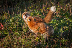 Red Foxes  Vulpes vulpes in Small Conflict. Captive animals Royalty Free Stock Image