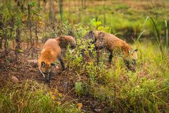 Red Foxes Vulpes vulpes Sniff About Royalty Free Stock Images