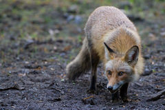 Red fox stalk. Red fuzzy furry fox stalking tracking its prey Stock Photo