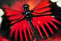 red för fjärilsdoraheliconius Arkivbilder