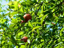 Red fragrant fruit of pomegranate grows on a tree. The red fragrant fruit of a pomegranate grows on a tree. Sour sweet berry Stock Photos