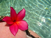 Red Frangipani on a Bikini Top Stock Images